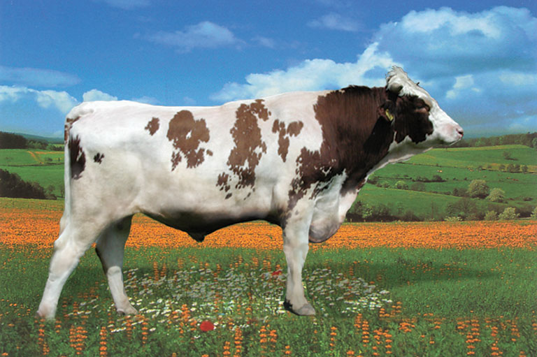 Crvena Holstein / Frisian breed