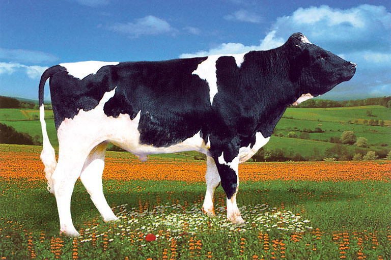 Holstein / Frisian breed